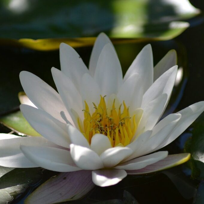 water-lily-140727_1280